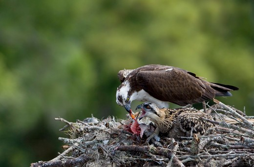 Stock Photo: 837-4000 Osprey (Pandion haliaetus) feeding its chick in its nest