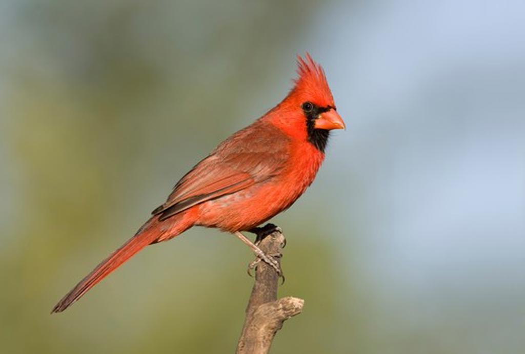 Male Northern cardinal (Cardinalis cardinalis) perching on a branch : Stock Photo