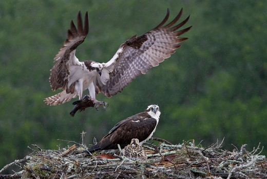 Osprey (Pandion haliaetus) with fish clutched in its claws gliding down towards its chicks in nest : Stock Photo