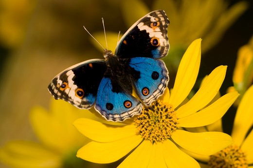 Blue Pansy butterfly (Junonia orithya) pollinating a flower : Stock Photo