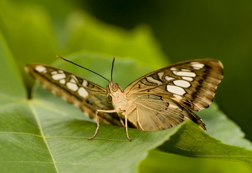 Stock Photo: 837-4060 Clipper butterfly (Parthenos sylvia) on a leaf, Malaysia