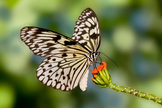 Stock Photo: 837-4081 Paper Kite butterfly (Idea leuconoe) pollinating a flower