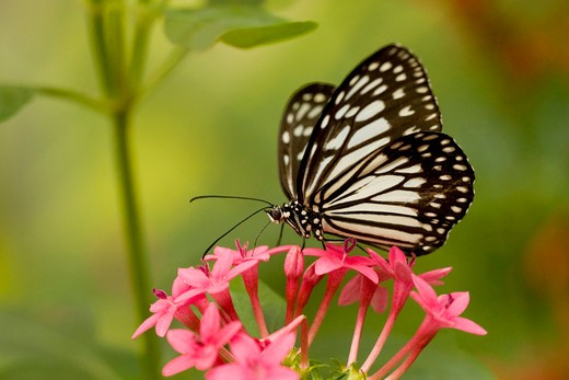 Stock Photo: 837-4108 Paper Kite butterfly (Idea leuconoe) pollinating a flower