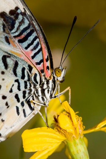 Stock Photo: 837-4132 Leopard Lacewing butterfly (Cethosia cyane) pollinating a flower
