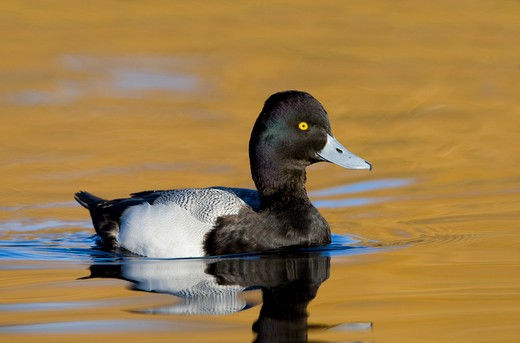 Stock Photo: 837-4152 Lesser Scaup (Aythya affinis) in water