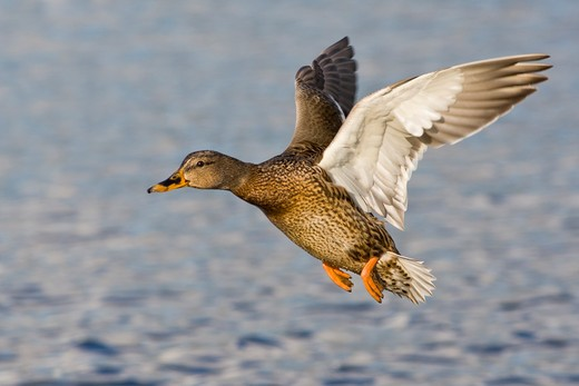 Stock Photo: 837-4153 Female Mallard duck (Anas platyrhynchos) in flight