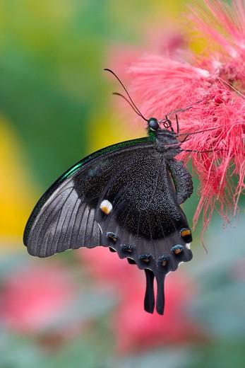 Emerald Swallowtail butterfly (Papilio palinurus) pollinating a flower : Stock Photo