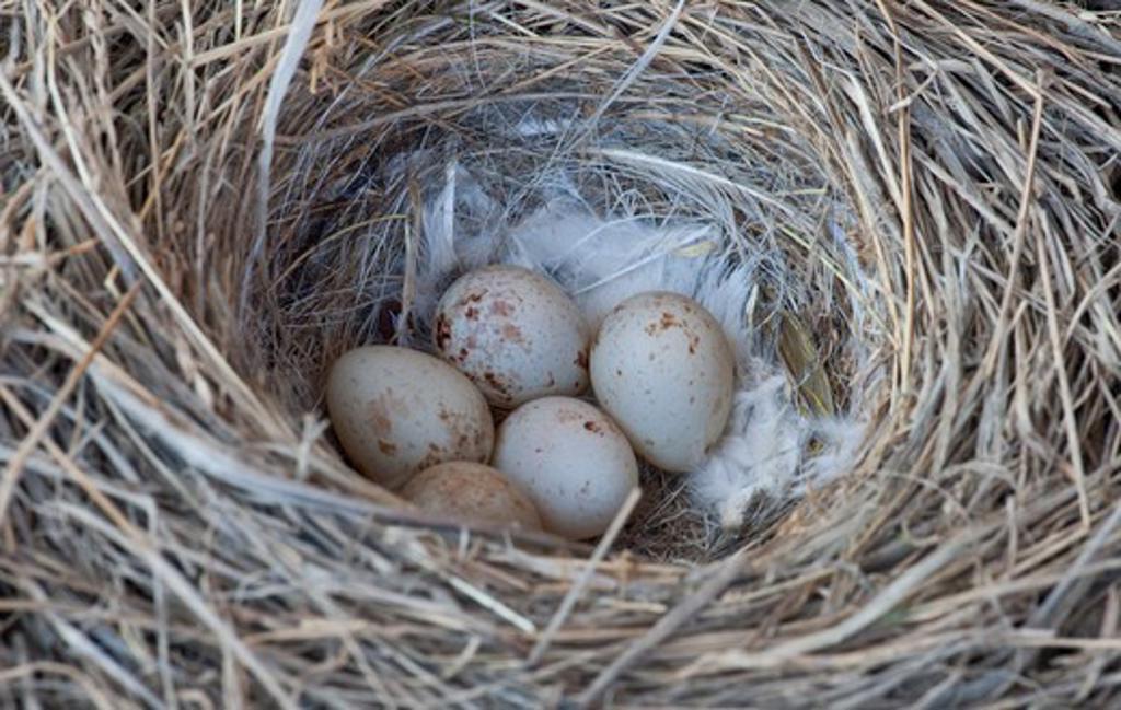 Lapland Longspur's (Calcarius lapponicus) nest : Stock Photo