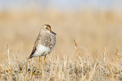 Pectoral Sandpiper (Calidris melanotos) : Stock Photo