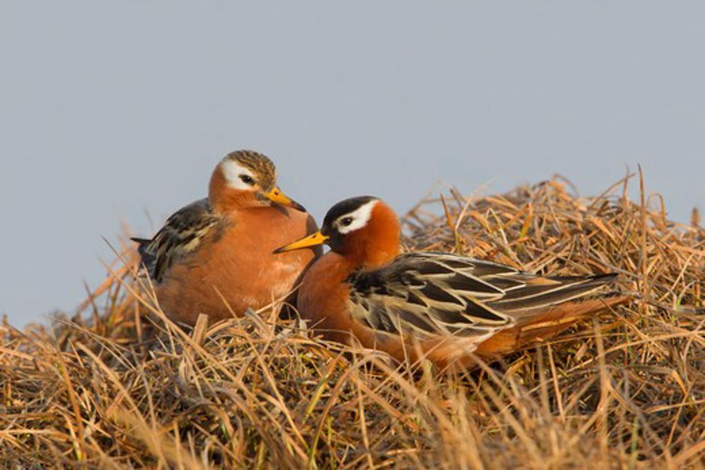 Stock Photo: 837-4223 Red Phalarope (Phalaropus fulicaria) pair on grass