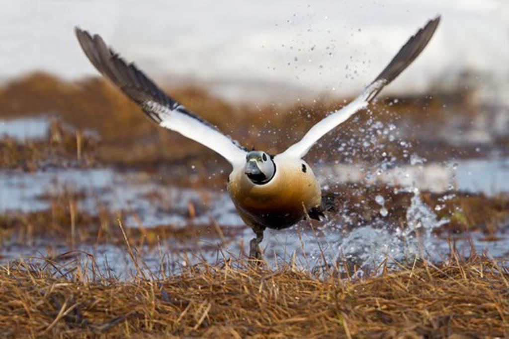 Stock Photo: 837-4241 Steller's Eider (Polysticta stelleri) taking off from water