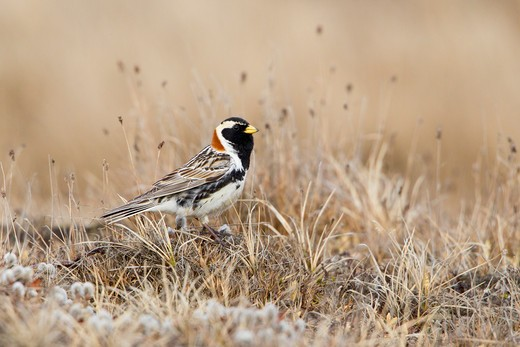 Lapland Longspur (Calcarius lapponicus) standing on grass : Stock Photo