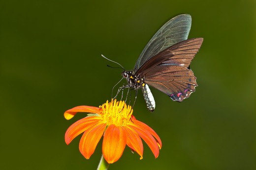 Belus Swallowtail (Battus belus) butterfly pollinating a Mexican Sunflower : Stock Photo