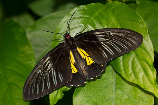 Stock Photo: 837-4260 Common Birdwing (Troides helena) butterfly on a green leaf