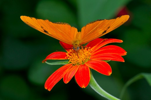 Stock Photo: 837-4272 Julia butterfly (Dryas julia) pollinating a flower