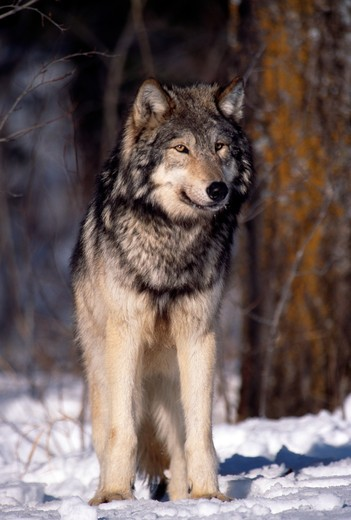 Grey wolf (Canis lupus) in winter : Stock Photo
