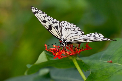 Stock Photo: 837-4398 Close up of Rice Paper butterfly (Idea Leuconoe)