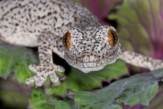 Stock Photo: 837-4437 Close-up of an Eastern Spiny-tailed Gecko (Strophurus williamsi)