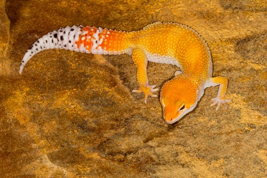 High angle view of a Leopard gecko (Eublepharis macularius) : Stock Photo