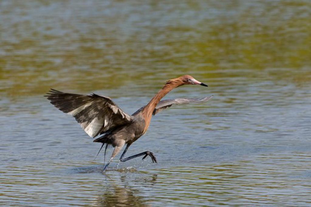 Reddish Egret (Egretta Rufescens) flapping wings in water : Stock Photo