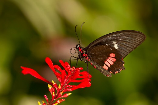Stock Photo: 837-4560 Arcas Cattleheart Butterfly (Parides arcas)
