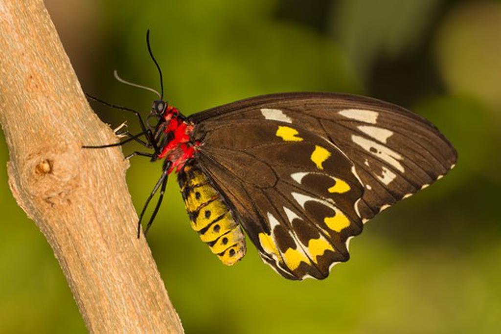 Stock Photo: 837-4562 Common Green Birdwing Butterfly (Ornithoptera priamus)