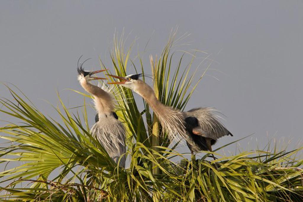 Pair of Great blue herons (Ardea herodias) atop a palm tree : Stock Photo