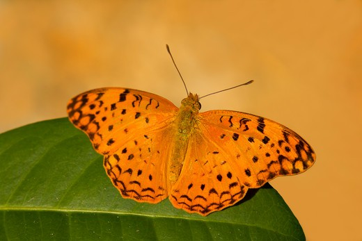 Stock Photo: 837-4609 Close-up of a Common Leopard (Phalanta phalantha) butterfly on a leaf