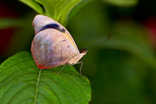 Stock Photo: 837-4612 Grecian Shoemaker (Catonephele numilia) butterfly on a green leaf