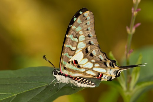 Close-up of a Large Striped Swordtail (Graphium antheus) butterfly on a green leaf : Stock Photo
