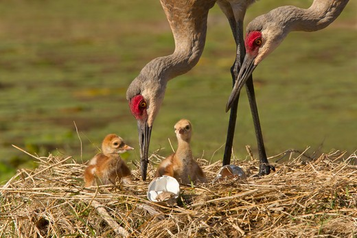 Two Sandhill cranes (Grus canadensis) with two baby chicks at a nest : Stock Photo