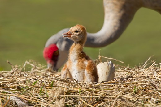 Stock Photo: 837-4641 Sandhill crane (Grus canadensis) with its young one at a nest