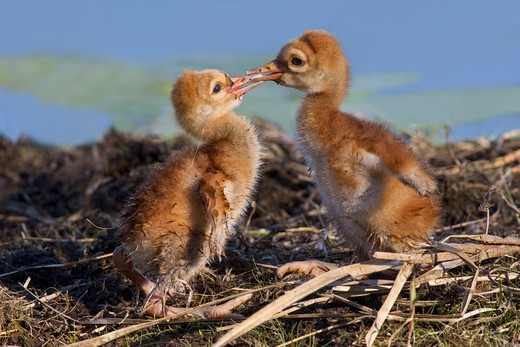 Stock Photo: 837-4642 Two Sandhill cranes (Grus canadensis) baby chicks facing off at a nest