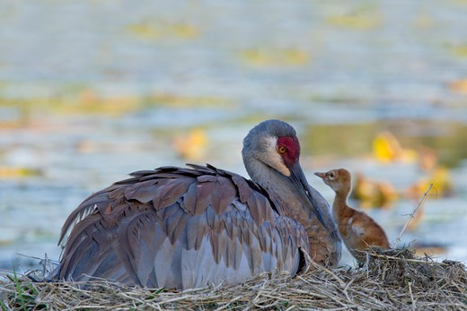 Stock Photo: 837-4643 Sandhill crane (Grus canadensis) with its young one at a nest
