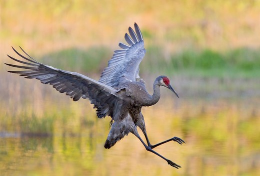 Sandhill crane (Grus canadensis) in flight at a swamp : Stock Photo