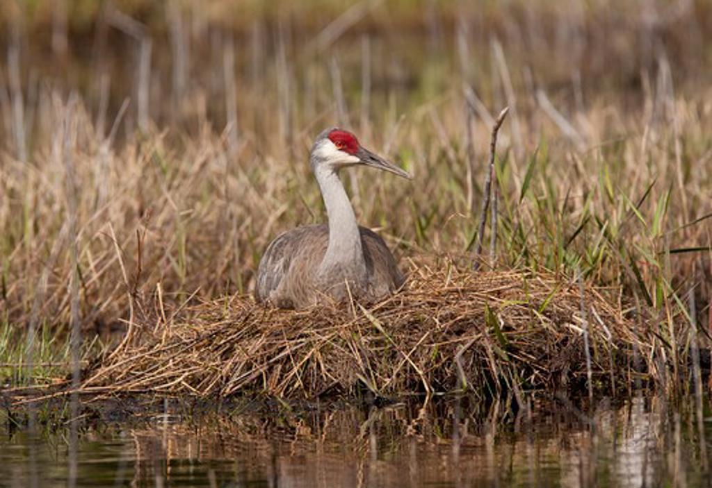 Stock Photo: 837-4670 Sandhill crane (Grus canadensis) on nest
