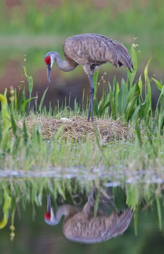Sandhill crane (Grus canadensis) on nest : Stock Photo