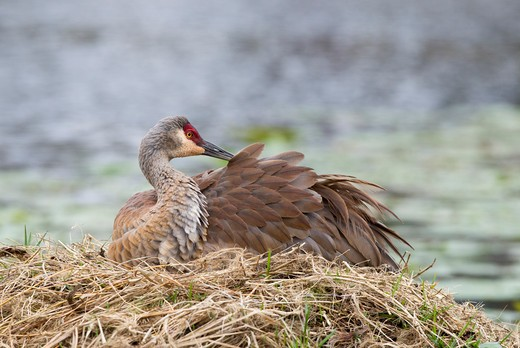 Sandhill crane (Grus canadensis) resting on nest : Stock Photo