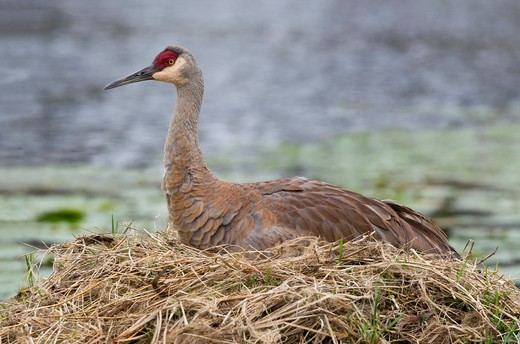 Stock Photo: 837-4674 Sandhill crane (Grus canadensis) resting on nest