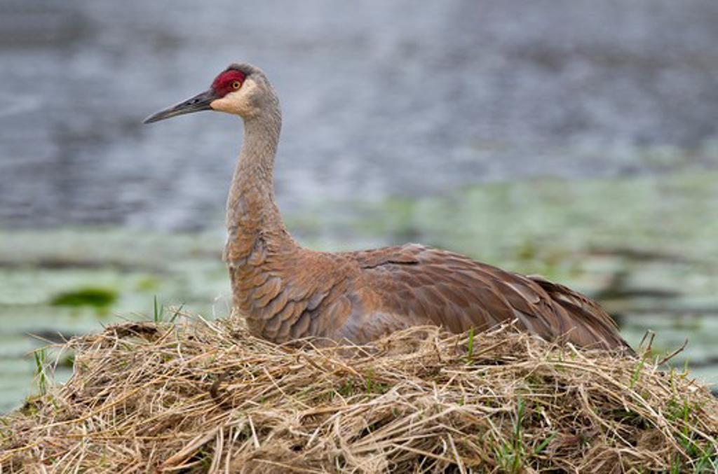 Sandhill crane (Grus canadensis) resting on nest : Stock Photo