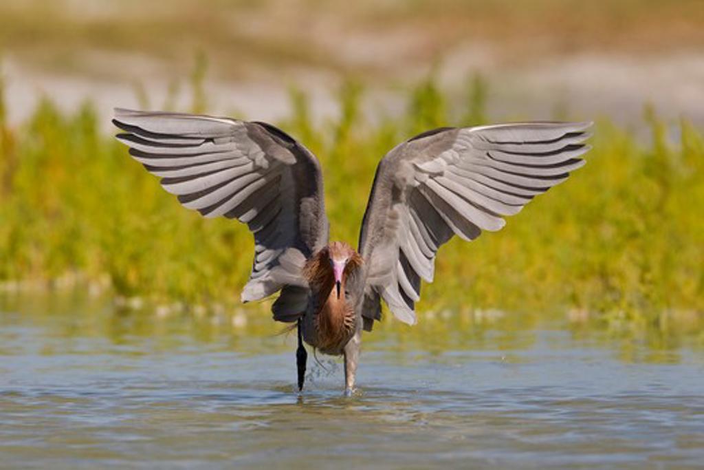 Fishing pose of a Reddish Egret (Egretta rufescens) : Stock Photo