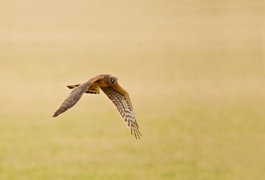 Northern harrier (Circus cyaneus) in flight : Stock Photo