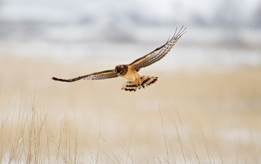 Stock Photo: 837-4774 Northern harrier (Circus cyaneus) flying during snowing