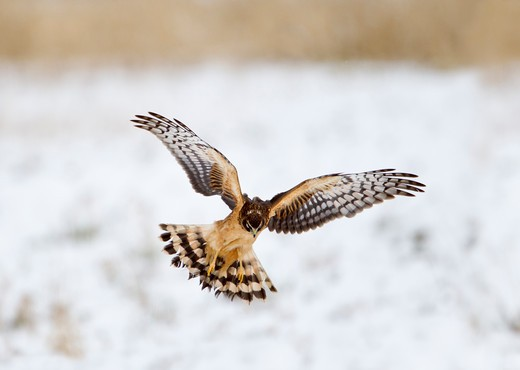 Northern harrier (Circus cyaneus) flying during snowing : Stock Photo