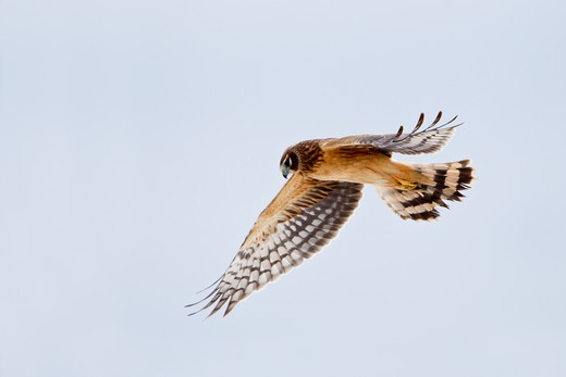 Stock Photo: 837-4777 Northern harrier (Circus cyaneus) in flight