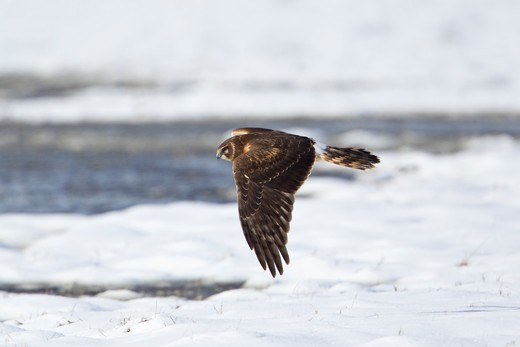 Stock Photo: 837-4780 Northern harrier (Circus cyaneus) in flight