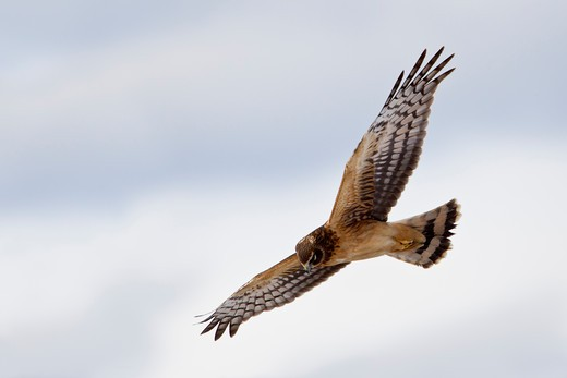 Low angle view of a Northern harrier (Circus cyaneus) flying : Stock Photo