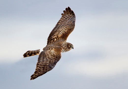 Stock Photo: 837-4783 Low angle view of a Northern harrier (Circus cyaneus) flying