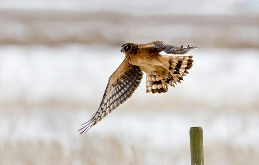 Stock Photo: 837-4784 Northern harrier (Circus cyaneus) in flight