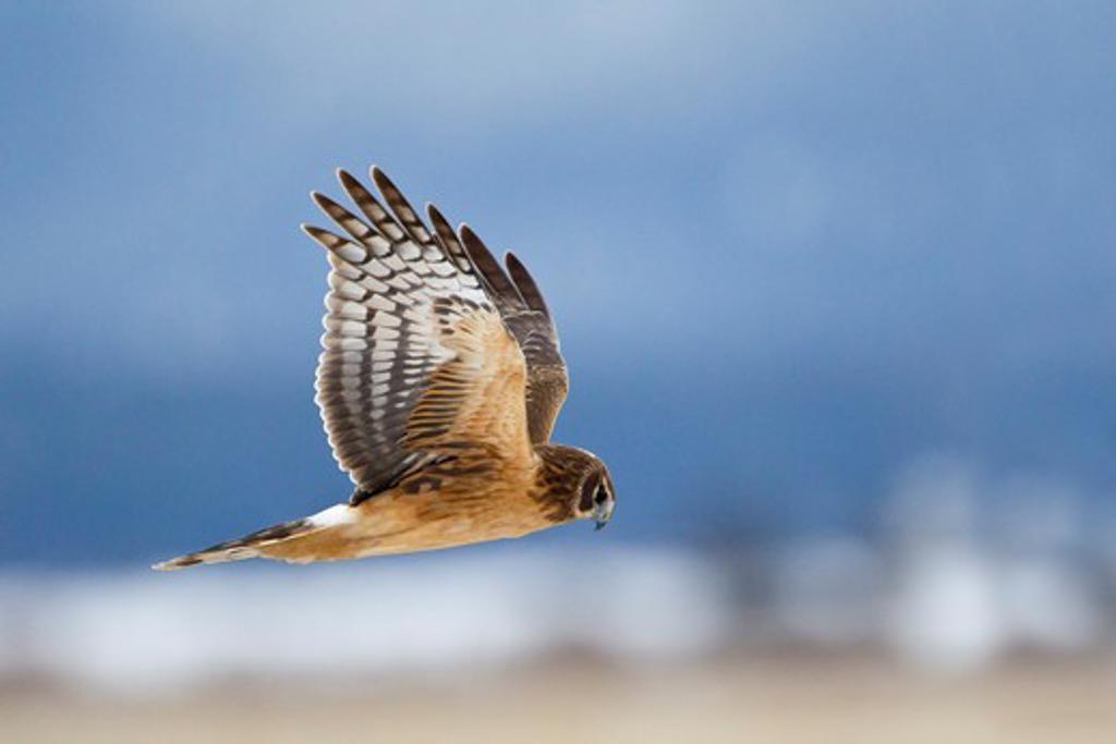 Stock Photo: 837-4785 Northern harrier (Circus cyaneus) in flight